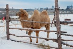 A camel in the snow stock image