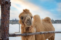 A camel in the snow stock photography