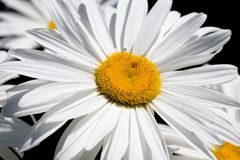 Big camomile Royalty Free Stock Photography