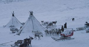 Big camp of yurts , with lots of reindeers and people around them , typical day of Siberian people. 4k stock footage