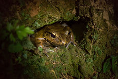 A big cane toad (Bufo marinus). A cane toad (Bufo marinus) sitting in a hole Stock Photography