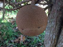Big cannonball fruit or Couroupita guianensis. stock photography