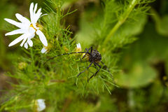 Big capricorn beetle is sitting on a daisy close-up Stock Photography