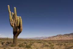 Big cardon in the desert Royalty Free Stock Photos