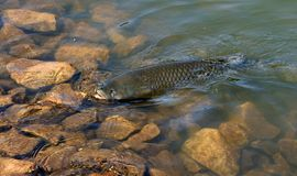Big Carp. Hooked fish being dragged in Royalty Free Stock Photography