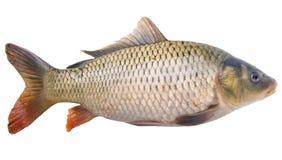 Big carp stock image