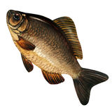 Big carp carassius isolated on white background Stock Image