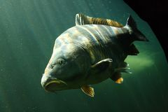 Big Carp (Cyprinus Carpio). Underwater Photo Big Carp (Cyprinus Carpio) in Bolevak Pond - famous anglig and diving place - Pilsen City Czech Republic Europe Royalty Free Stock Images