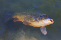 Big Carp (Cyprinus Carpio) Stock Images