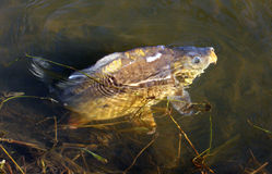 Big Carp (Cyprinus Carpio) Royalty Free Stock Images