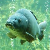 Big carp Cyprinus carpio Stock Images