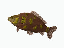 Big carp fish. A big carp fish alone Stock Illustration