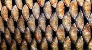 Big carp fish textured skin scales macro view. Photo golden scaly textured pattern. Selective focus, shallow depth field Stock Image