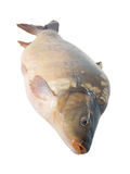 Big carp isolated Stock Images