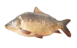 Big carp isolated Royalty Free Stock Images