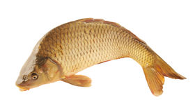 Big carp isolated Stock Photo