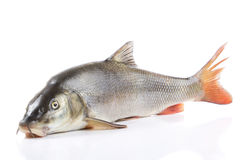 Big carp isolated on white background. Raw fish isolated on white background Stock Photography