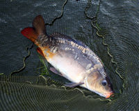 Big carp in landing net Royalty Free Stock Images