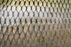 Big carp scales. Close up as a background Royalty Free Stock Photo