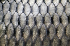 Big carp scales. Close up as a background Stock Photo