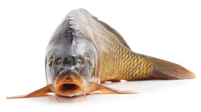 Big carp. Big carp on a white background stock photo