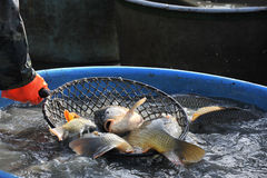 Big carps in a landing net Royalty Free Stock Images