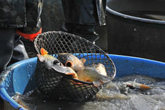 Big carps in a landing net Stock Images