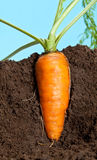 Big carrot growing in soil Royalty Free Stock Images