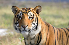Big cat. Tiger standing in green grass Stock Photography