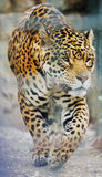 Big cat. Big wild cat animal in zoo Royalty Free Stock Photos