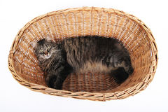 Big cat. Cat looking up laing in the basket stock photos
