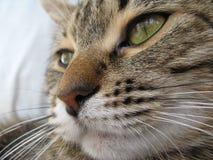 Big Cat. Face of Cat stock photo