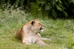 Big Cat African lioness royalty free stock photos