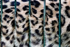 A big cat in cage, its fur behind zoo bars, captivity Stock Images