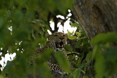Leopard in the Tree Canopy Royalty Free Stock Images