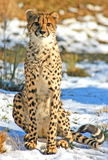Big Cat Cheetah Stock Photo