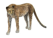 Big Cat Cheetah. 3D digital render of a big cat cheetah isolated on white background Royalty Free Stock Image