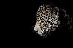 Big cat into dark Stock Images