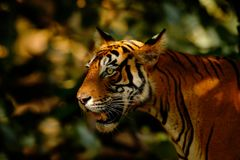 Big cat, endangered animal. End of dry season, beginning monsoon. Tiger walking in green vegetation. Wild Asia, wildlife India. In. Big cat, endangered animal Royalty Free Stock Photos