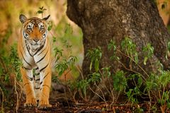 Big cat, endangered animal hidden in forest. End of dry season. Tiger walking in green vegetation. Wild Asia, wildlife India. Indi. Big cat, endangered animal Stock Photos