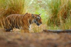 Big cat, endangered animal, nice fur coat. End of dry season, monsoon. Tiger hidden in lake grass. Indian tiger with first rain, w. Big cat, endangered animal Stock Photos