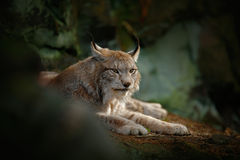 Big cat Eurasian Lynx sitting in rock. Germany, wildlife Royalty Free Stock Photo