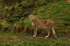 Cheetah the world`s fastest animal. Big cat fast lithe elegant and graceful all describe the stunningly beautiful Cheetah. Long tail helps with counter balance Stock Image