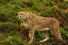 Cheetah the world`s fastest animal. Big cat fast lithe elegant and graceful all describe the stunningly beautiful Cheetah. Long tail helps with counter balance Stock Photo