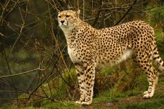 Cheetah the world`s fastest animal. Big cat fast lithe elegant and graceful all describe the stunningly beautiful Cheetah. Long tail helps with counter balance Royalty Free Stock Photography
