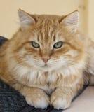 Big cat with green eyes Stock Photos