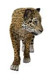 Big Cat Jaguar Stock Photography