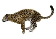 Big Cat Jaguar Stock Photos