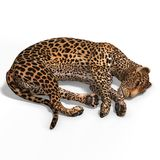 Big Cat Leopard Royalty Free Stock Photography