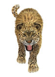 Big Cat Leopard. 3D digital render of a big cat leopard hunting isolated on white background Stock Images